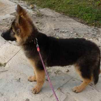 German Shepherd Coat Types