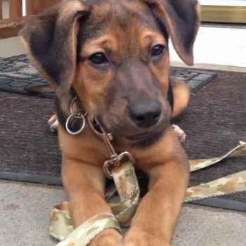 German Shepherd Coonhound Mix