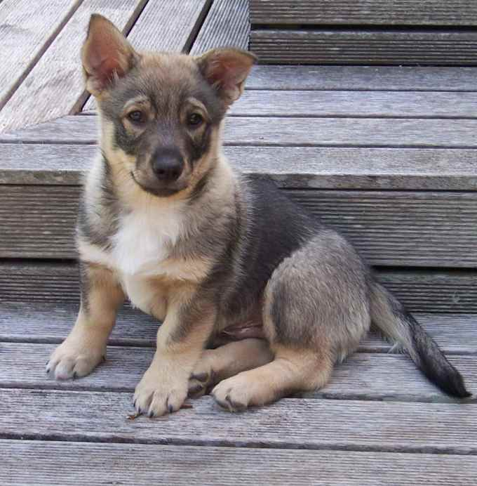 German Shepherd Corgi Mix Puppies For Sale
