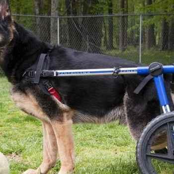 German Shepherd Degenerative Myelopathy Treatment