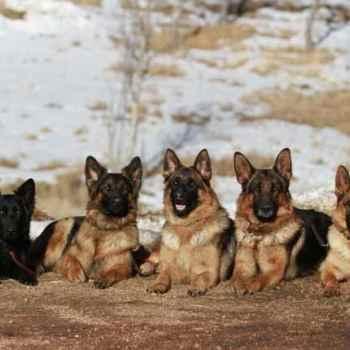 German Shepherd Denver