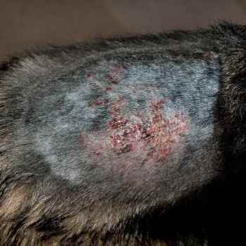 German Shepherd Dermatitis