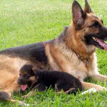 German Shepherd Dog Breeders Near Me