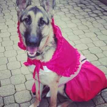 German Shepherd Dressed Up
