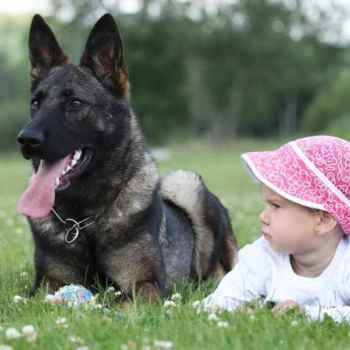 German Shepherd Family Protection