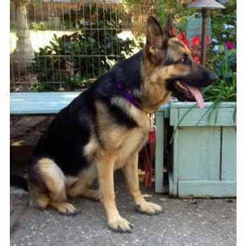 German Shepherd For Adoption
