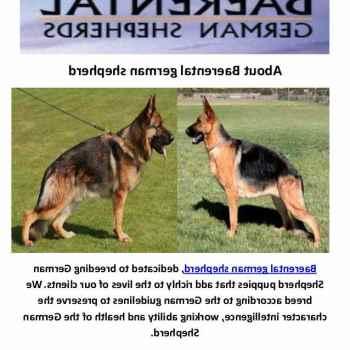 German Shepherd For Sale Houston Tx