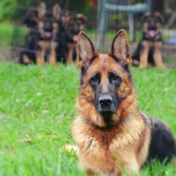 German Shepherd For Sale In Texas