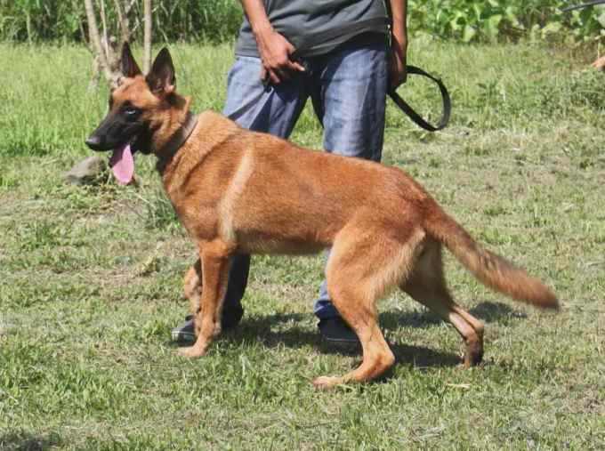German Shepherd For Sale In The Philippines
