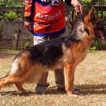 German Shepherd For Sale Philippines