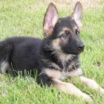 German Shepherd For Sell