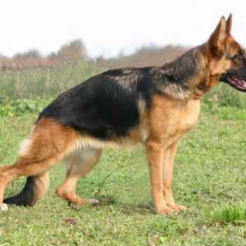 German Shepherd Health Issues