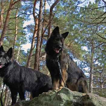 German Shepherd Hiking