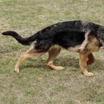 German Shepherd Hind Leg Weakness