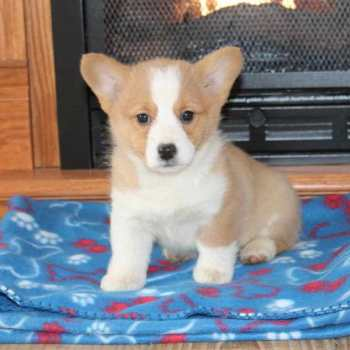 Corgi For Sale Okc