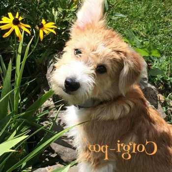 Corgi Poo Puppies For Sale