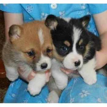 Corgi Puppies Cleveland Ohio