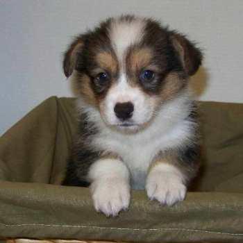 Corgi Puppies For Sale Arkansas