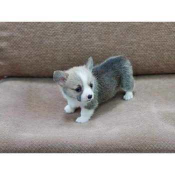 Corgi Puppies For Sale In Illinois
