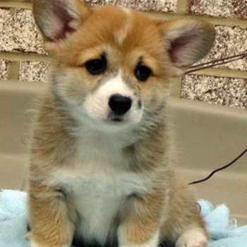 Corgi Puppies For Sale Indiana