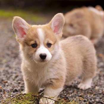 Corgi Puppies For Sale Near Me