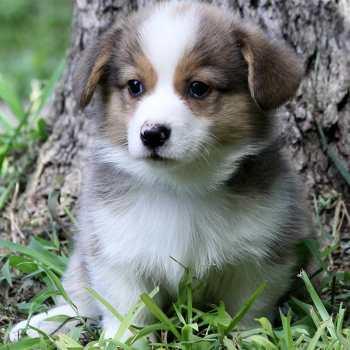 Corgi Puppies San Antonio