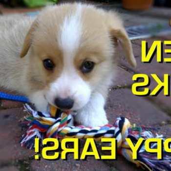 Corgi Puppy Ears