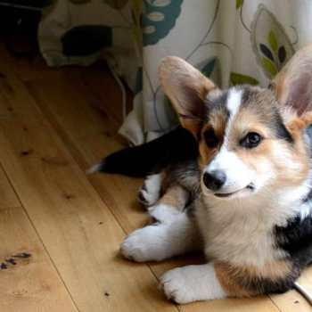 Corgi Puppy With Tail