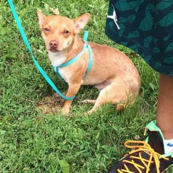 Craigslist Chihuahua For Sale