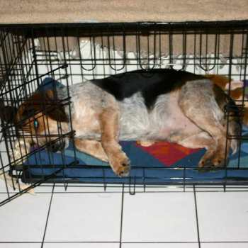 Crate Size For Beagle