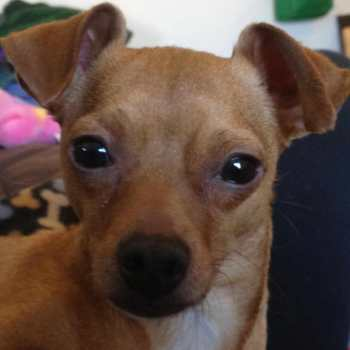 Dfw Chihuahua Rescue