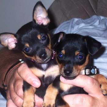 Doberman Chihuahua Mix Puppies