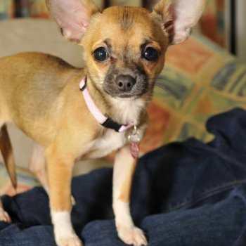 Does Chihuahua Help Asthma