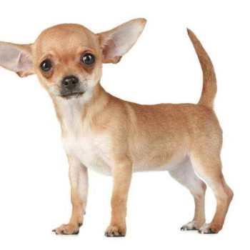 Dog Breeders Chihuahua