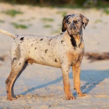 Dog Catahoula