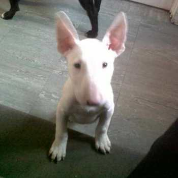 English Bull Terrier Adoption