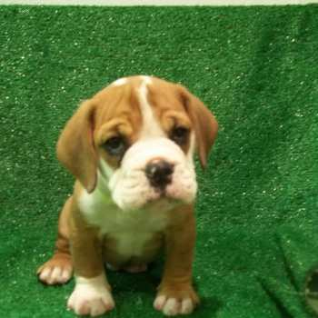 English Bulldog Beagle Mix Puppies For Sale