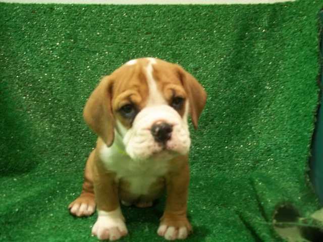 english bulldog beagle mix puppies for sale | petsidi