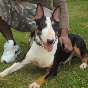 English Bulldog Terrier For Sale