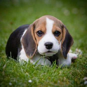 Find A Beagle Puppy