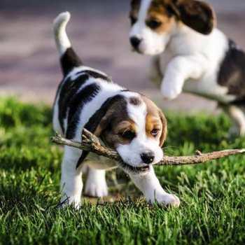 Find Beagle Puppies