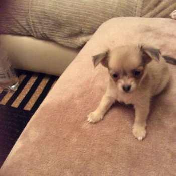 Fluffy Chihuahua Puppy