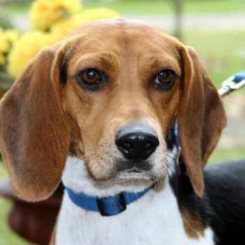 Forever Home Beagle Rescue