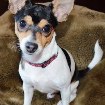Fox Terrier Chihuahua Mix For Sale