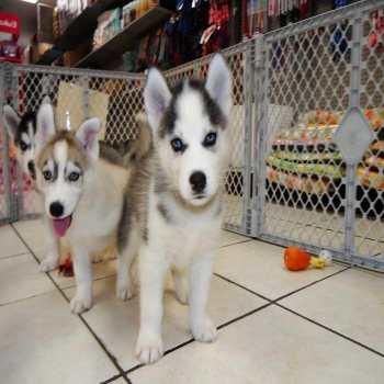 Free Chihuahua Puppies In Ga