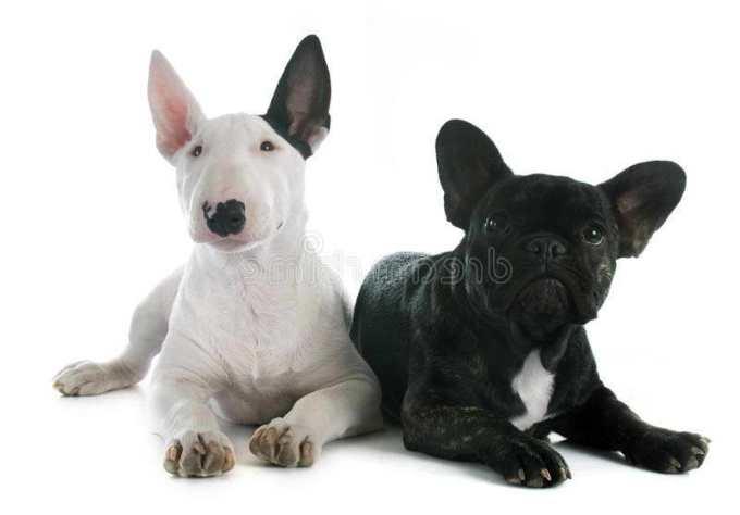 French Bull Terrier
