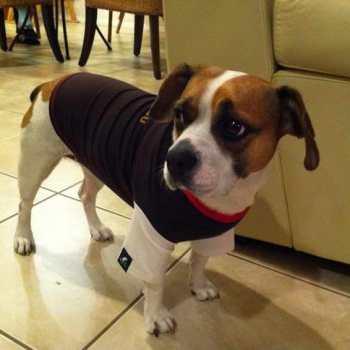 French Bulldog Beagle Mix For Sale
