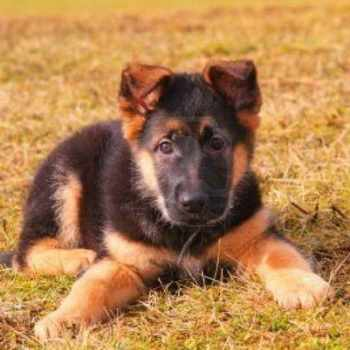 German Shepherd How Much Do They Cost