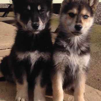 German Shepherd Husky For Sale