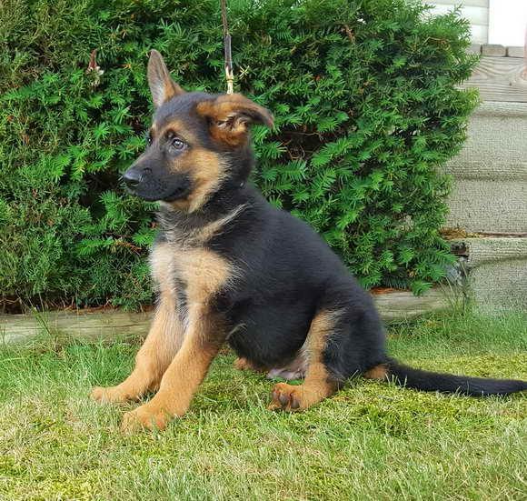 German Shepherd Male Puppies For Sale